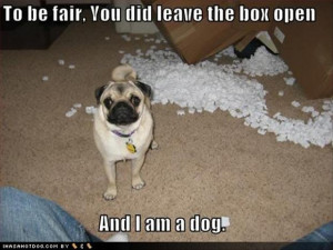 tagged with funny pug dog pictures 35 pics funny pictures