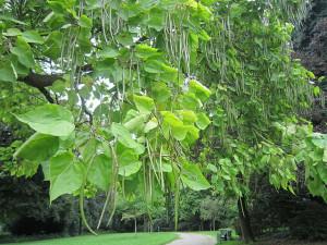 Indian Bean Tree Catalpa...