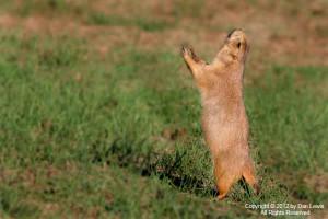 White Tailed Prairie Dog