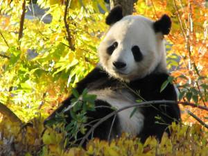Giant Panda relaxing on a beautiful fall day at the Washington D.C ...