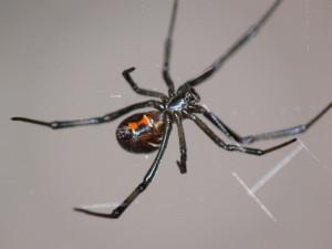 Black Widow Spider Family