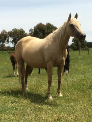 Palomino Horses And Ponies