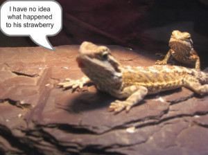 Funny Bearded Dragon Picture