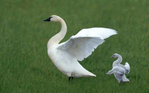 Beautiful Swans - Beautiful Birds Wallpaper