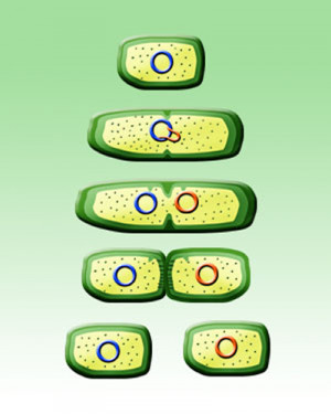 Binary Fission Asexual...