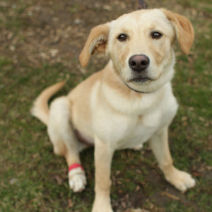 Yellow_Labrador_Retriever_Zoe_IMG_9417.jpg
