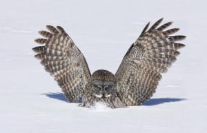 Great Grey owl swoops on a tiny meadow vole as it scurries across a ...