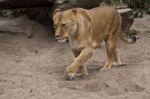 Female Lion Walking Through...