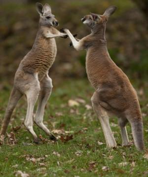 You Know Kangaroos Are Very