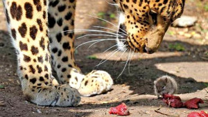 ... grabbed at scraps of meat thrown into the African Leopard's enclosure
