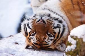 Women as Tigers in Circus