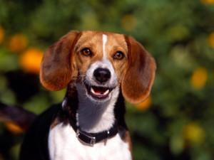 Beagles Beagle