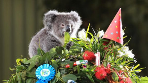 Archer the orphaned koala joey turns one and celebrates with a gum ...