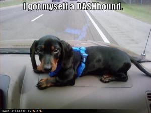 dachshund dashhound puppy