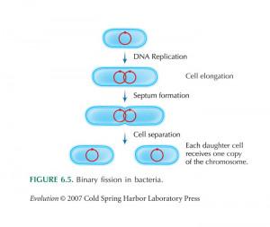Binary Fission Bacteria