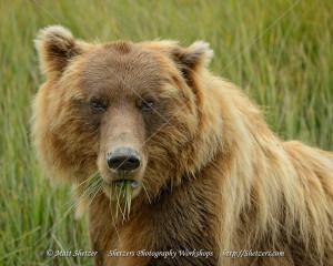 Grizzly Bear enjoying Sedge closeup