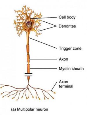 Unipolar Bipolar and Multipolar Neurons
