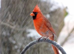 Cardinal bird in snowstorm.