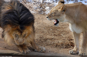 Yes dear: The male lion cowers as the lioness lets him know exactly ...