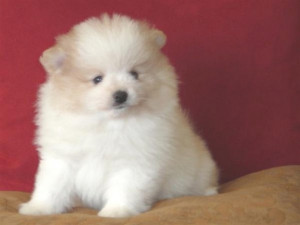 Picture of lovely fat pomeranian puppy in white w/ some tan