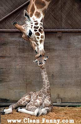 ... /11/animal-giraffe-mother-baby-kiss-kissing-703831.jpg_1284160978.jpg
