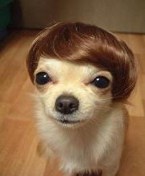 prasannash__silly-dog-with-toupee-funny