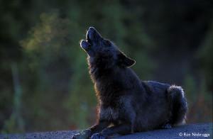 BLACK WOLF HOWL LAY.jpg