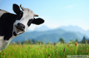 Funny cow on a green meadow