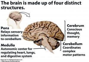 Central Nervous System Brain Function The Central Nervous System