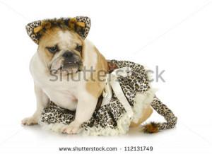 dog dressed like a cat - english bulldog wearing cat costume on white ...