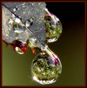 Rose Leaf Macro Dew Drops!