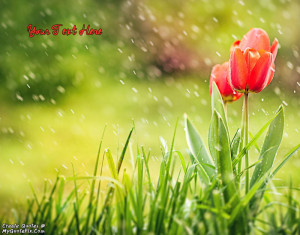 Quote Design Maker - Spring Tulips and Rain Quotes