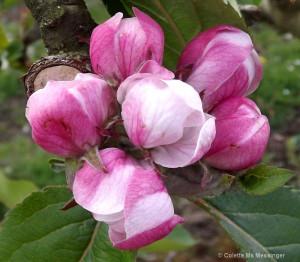 Apple Blossom Flowers