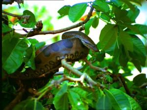 HD Anaconda Brazil Stock Video 267 605 789
