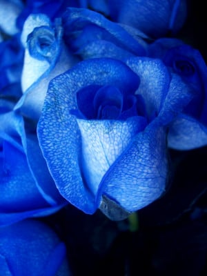blue rose 150x150 Get to Know Roses