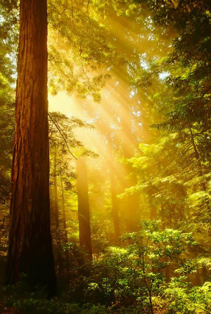 Inspiring Redwoods ~ Crepuscular rays of sunlight bursting through ...