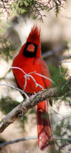Quotes About Cardinal Birds