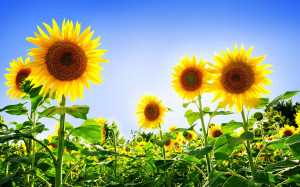 Tag: Sunflowers Wallpapers, Backgrounds, Photos, Images andPictures ...