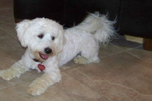 Adult Havanese with Puppy Cut