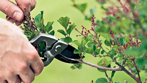 Trees And Shrubs For Forcing