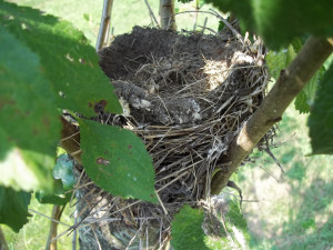 Yes...the robin's nest in our plum tree had 3 little blue eggs in it ...