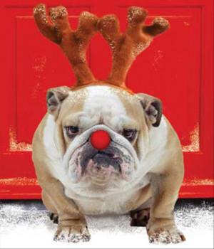Funny Bulldog Pictures A funny bulldog