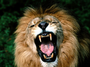 Lions Roaring Pics, Roaring Lion Pictures and Closeup Wallpapers