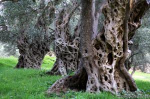 Old Olive Trees Near Bar