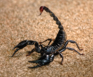 Black Scorpion Facts and Photos-Images 2012