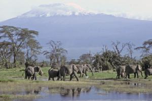 Elephant Herd And