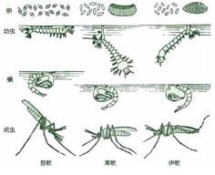 Difference between different types of mosquitos Anopheles, Culex ...
