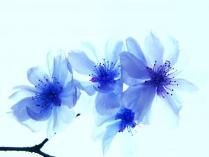 Cherry , Blossom , Blue , Flowers