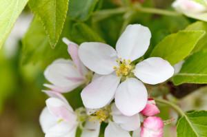 Apple Blossom Petr Kratochvil