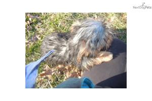 funny-akc-yorkie-boy-dog-yorkshire-terrier-yorkie-puppy-14dca16a-a8f7 ...